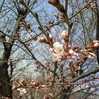 ☆今年の桜・・・満開直前^ヾ☆