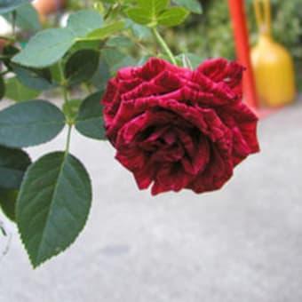 薔薇ってキレイ‥!