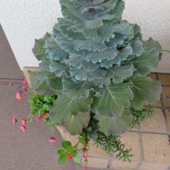 5/23~5/29~冬からの寄せ植え鉢-H、まだがんばる