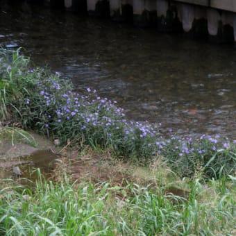 山科川に一面のヤナギバルイラソウ