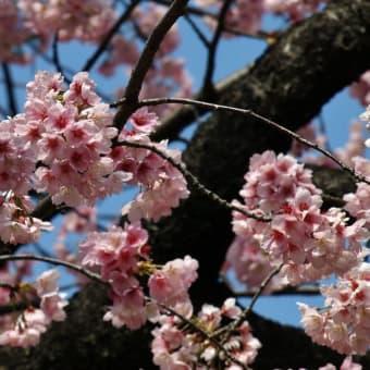 2013/03 東京の桜