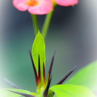 咲くやこの花館で サボテンのご先祖 モクキリンの花が咲いていました♪