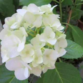 アジサイAの花の色は:まとめ
