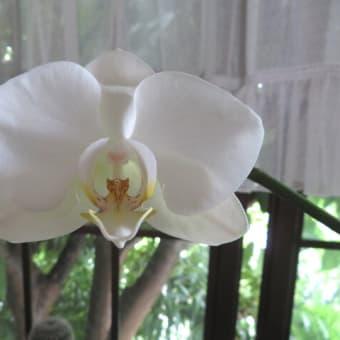 私の庭でんねん~速報!コチョウラン開花!