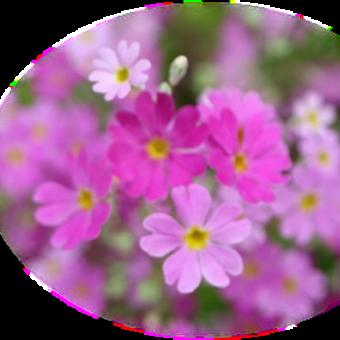 3 / 31 めぐり~西洋サクラソウ と スイートアリッサム