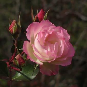 冬のバラなど~ウィンター・ガーデン in 宇治市植物公園(3)