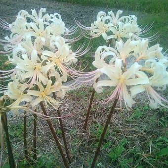畔に咲くヒガンバナ