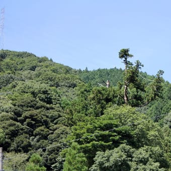 小川内の杉、 移植から5年が過ぎて