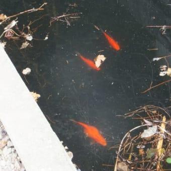生き続けていた「金魚」