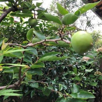 庭で二年越しに実った柿の実を眺めて