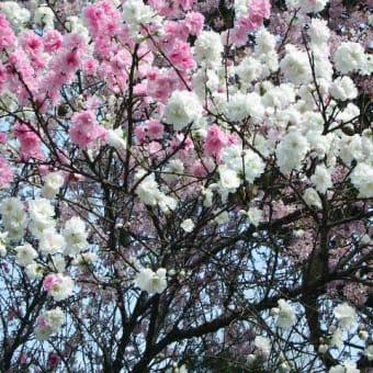 桜・・・紅白?