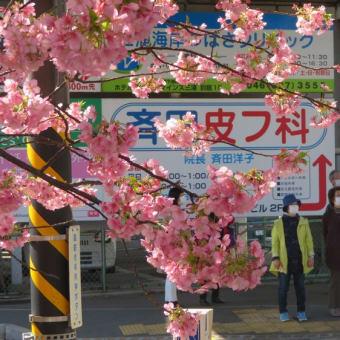 三浦海岸駅の河津桜
