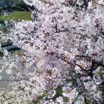 桜と風邪と食道炎と