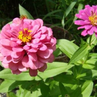 「おはようの花」 百日草 (ひゃくにちそう) 7月
