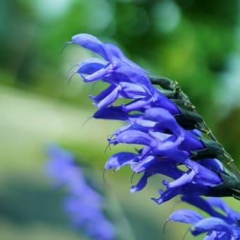 ●我が家の8月の花(5)メドーセージ ジニア サンパラソル アンゲロニア ホトトギス