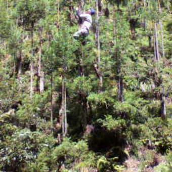 台杉の枝打ち