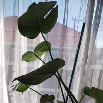 観葉植物の成長