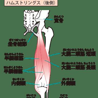 太腿裏の筋肉その1