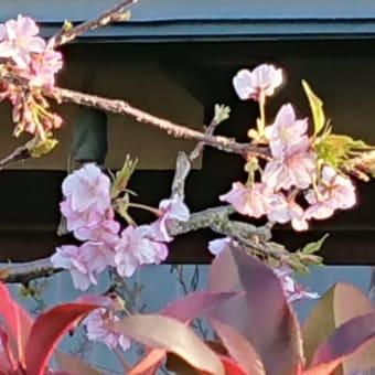 サクラ咲く その2
