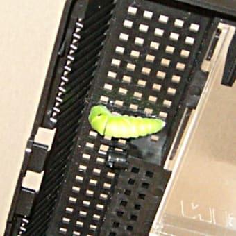 アゲハの幼虫と蛹。