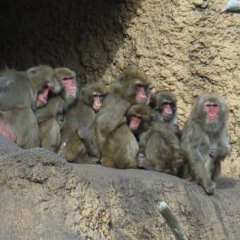福岡県田川郡香春町(かわらちょう)の野生ニホンザル、ベトナムに移送構想。 意見が必要。