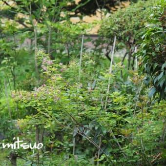 「萩の花が咲きました」 MY GARDEN 2019.08.13撮影