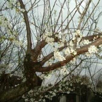 春来る 2007.3.25日曜日 桜開花 (品種:福島千年桜)