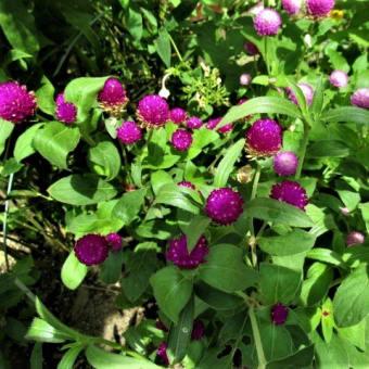 センニチコウ;アシダンセラ;トケイ草赤花 :コキク