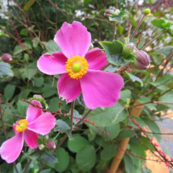 9/15 エリア5:セイロンライティアの白い花他