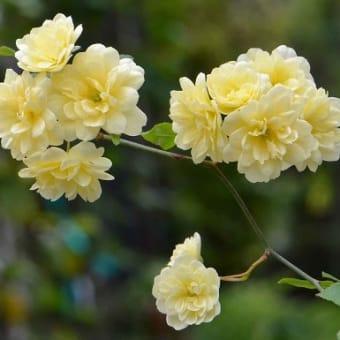 鉢植えのバラ(1)「モッコウバラ」