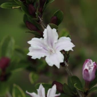 ハクチョウゲ(白丁花)・斑入り