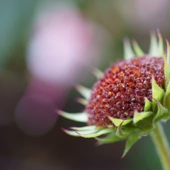 ●我が家の7月の花(5) ひまわり・サンビリーバブル 新パソコン(ノート)でRAW画像の編集
