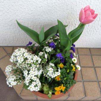 3/21~3/26 チューリップが咲いたよ!