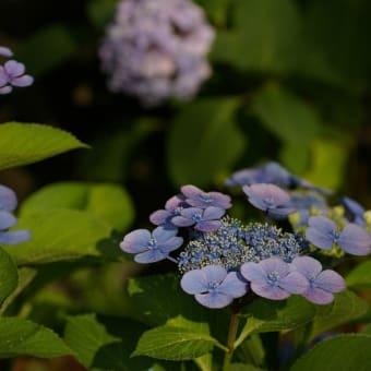 紫陽花散策。