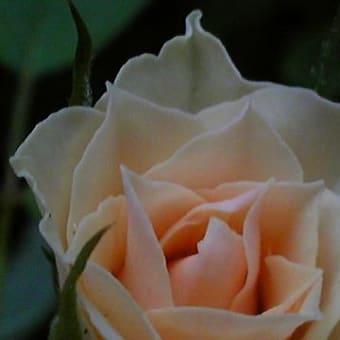 ♪バラが咲いた~♪