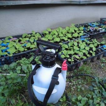 秋野菜を植えた