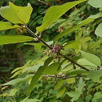 紫式部 ムラサキシキブの 蕾が 沢山 栃木県 高原山