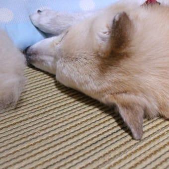 愛犬まるのオケケ玉