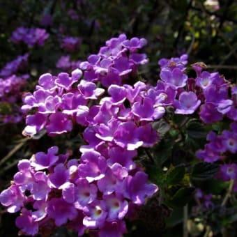 コバノランタナ / チガヤ / アイリス の花散歩