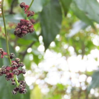 ミツバアケビ   ひかりの束をはらんだ春の船がゆく     千葉県市川市行徳・野鳥の楽園