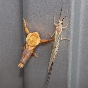 カゲロウと蛾のランデブー?