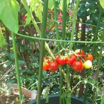 ミニトマトが実りました