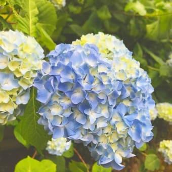 箱根 宮ノ下でも紫陽花が見頃を迎えました 箱根自然薯の森山薬