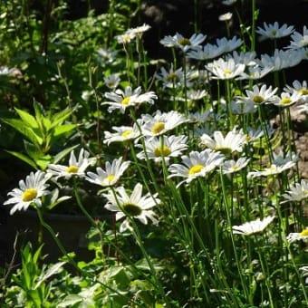 庭の「シャスタデージー」