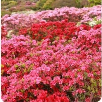 ◆佐世保からのつつじの便り・・・桜の花は北上中・南の便りから消滅?