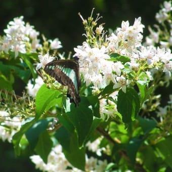 春のウツギとアオスジアゲハ