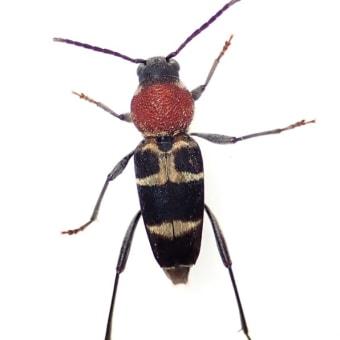 クビアカトラカミキリ