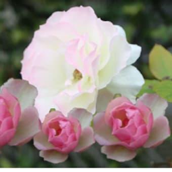 めぐり~バラ ばら 薔薇     1月27日(月)