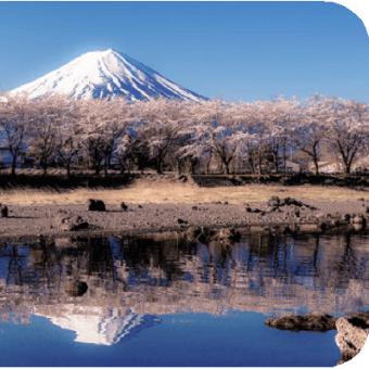 △【ソメイヨシノは世界一】・・・日本と韓国の間の「原産地」論争!
