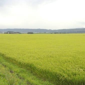 稲穂が風に揺れる会津盆地 5首